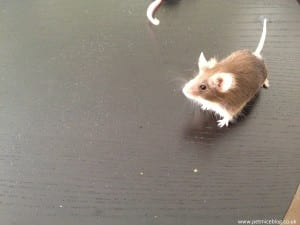 Brown pet mouse