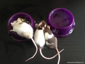 Pet Mice eating and drinking