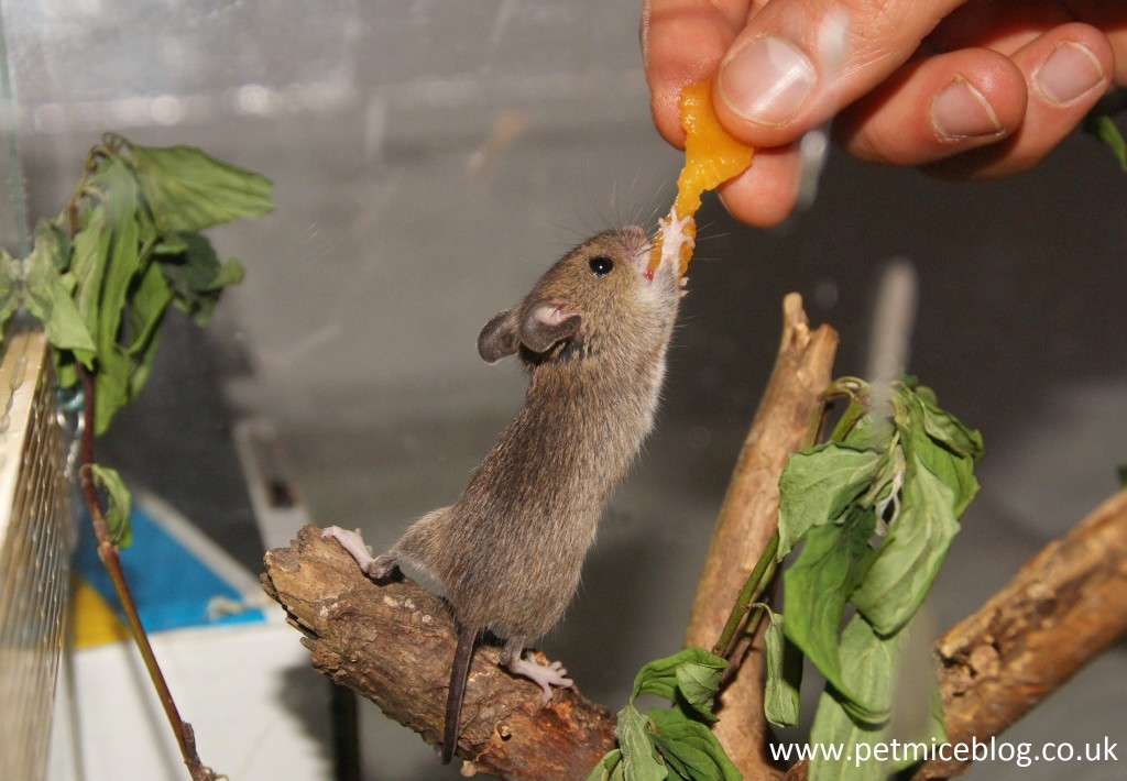Mice as Pets: Pros and Cons - Pet Mice Blog.co.uk