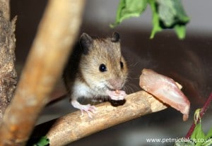 Mice as pets the pros and cons