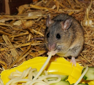 Different Types of Mice - House mouse