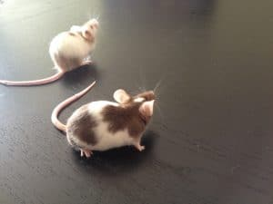mice in each others company
