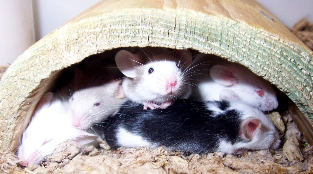 Best Mouse Bedding Materials