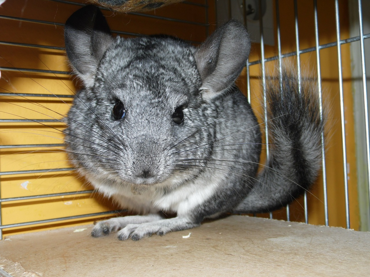 Which Small Rodents Make Good Pets Pet Mice Blog Co Uk