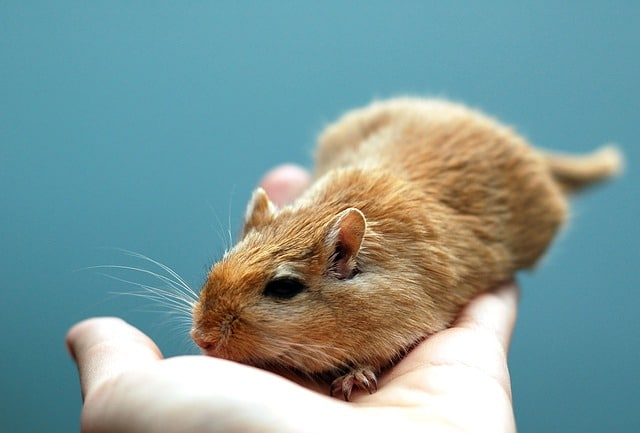 Pet gerbil
