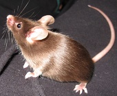 Chocolate Fancy Mice Color