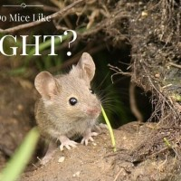 Do Mice Like Light
