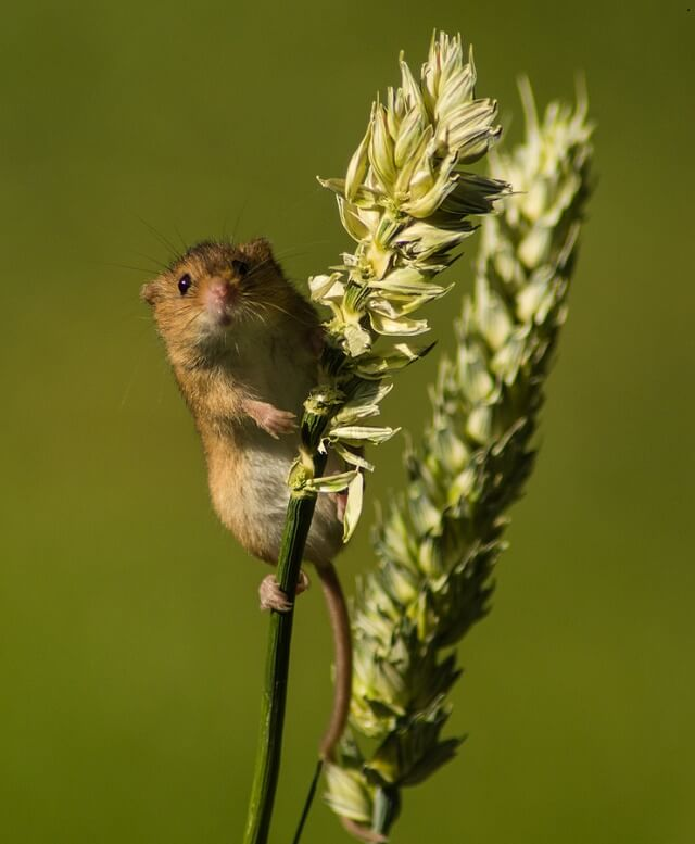 Feeding and housing Harvest mice