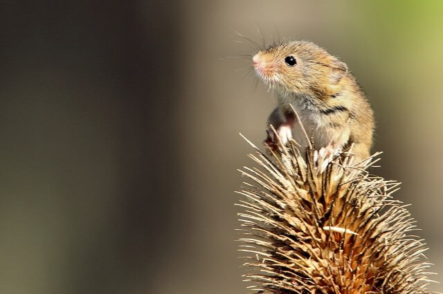 Harvest mouse in the wild
