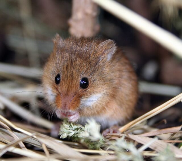 Keeping Harvest Mice as Pets