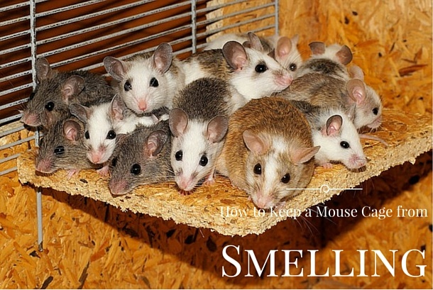How to Keep a Mouse Cage from Smelling