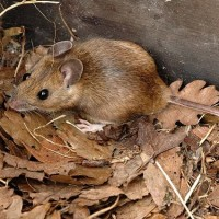 Yellow Necked mouse Apodemus flavicollis