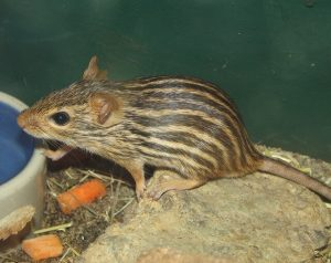 Different Types of Mice - Zebra Mouse