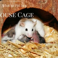 what to put in a mouse cage
