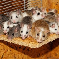 How Bad Do Pet Mice Smell