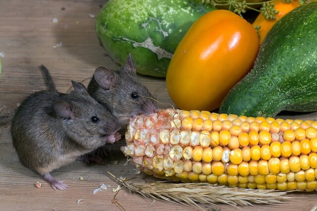 What Can Pet Mice Eat