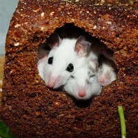 What Materials Can Mice Not Chew Through
