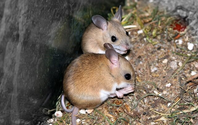 When Do Mice Mate