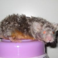Astrex Mice Information and Facts