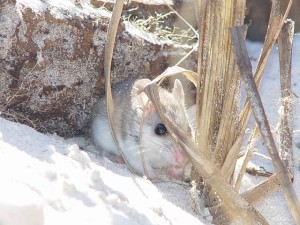 Beach Mice Information and Facts