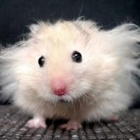 Long Haired Mouse Information and Facts