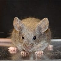 Pet Mouse Health Problems
