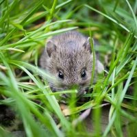 Can You Tame a Wild Baby Mouse
