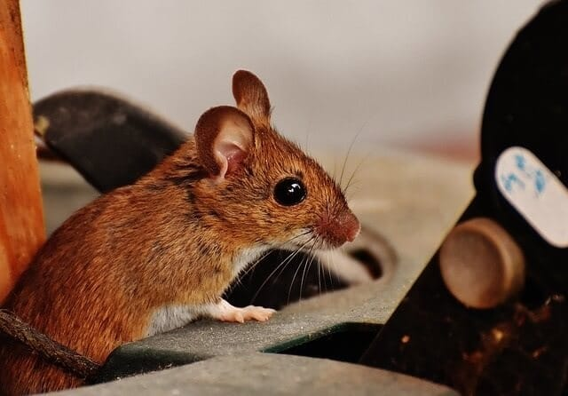 Do Dryer Sheets Work to Keep Mice Away