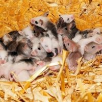 How Many Mice Is Considered an Infestation