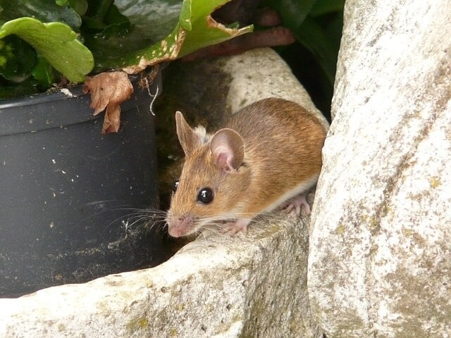 How to Keep Mice out of My Shed