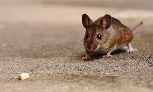 Signs of Mice in Bedroom - Pet Mice Blog.co.uk