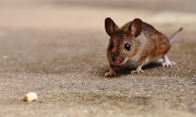 Signs of Mice in Bedroom