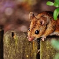 Using Peppermint Oil to Deter Mice