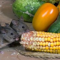What Is the Best Thing to Feed Wild Mice
