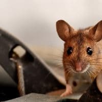 Do Mice Avoid Traps