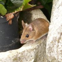 Can Mice Get in Through Upstairs Windows