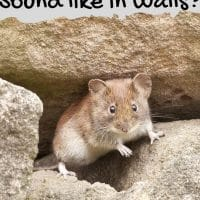 What Do Mice in Walls Sound Like