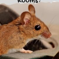 Do Mice Like Cold Rooms