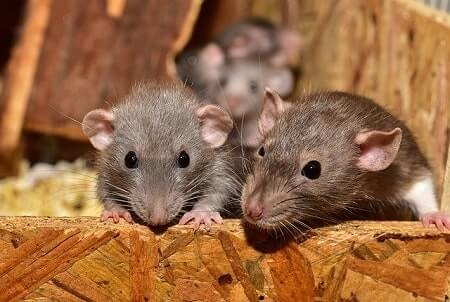 How to Stop Mice Chewing on Wood in Your Home