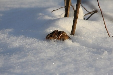 Where Do Mice Hide in the Winter